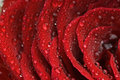Rose leaves dewdrop Stock Images