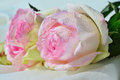 Rose light pink esperance with a touch of green Royalty Free Stock Photo