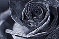 Rose macro monochrome Royalty Free Stock Photo