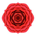 Rose mandala flower kaleidoscopic isolated roja en blanco Fotografía de archivo libre de regalías