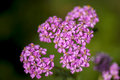 Rose medical milfoil plant good quality close up photo of a famous herbal color eurasian yarrow is used in medicine and Royalty Free Stock Images