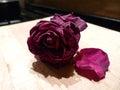 Rose memories Royalty Free Stock Photo