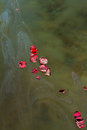 Rose Petals and Ashes On Murky Water Royalty Free Stock Photo