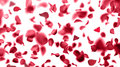 Rose petals falling abstract backround Stock Photo
