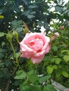 Rose flower in garden and blooms and beautiful petal