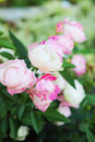 Rose pink flower in the nature Stock Images