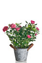 Rose plant in pot Royalty Free Stock Photo