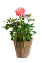 Rose in pot Stock Image