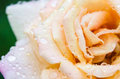 Rose with raindrops Royalty Free Stock Photo