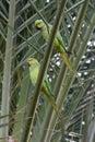 A Pair of Rose-Ringed Parakeet