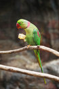 Rose ringed parakeet psittacula krameri nuri lume eatting food Royalty Free Stock Images