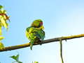 Rose-ringed Parakeet, Psittacula krameri Royalty Free Stock Photo