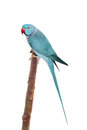The rose-ringed or ring-necked parakeet on white Royalty Free Stock Photo