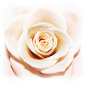 A rose is a rose Royalty Free Stock Photography