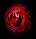 A rose is a rose is a rose Royalty Free Stock Images