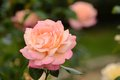 Rose roses flowers nature Royalty Free Stock Photography