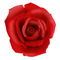 Rose rouge Photo stock