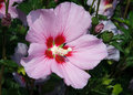 Rose Of Sharon Bloom