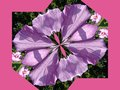 Rose of sharon distorted flower into an unusual shape on a pink background Stock Photos