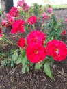 Rose of shell Houston Royalty Free Stock Photo