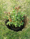 Rose shrub potted placed in the dug hole before being planted in the ground Stock Image