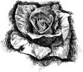Rose sketch of a on white Royalty Free Stock Image