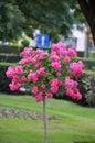 Rose tree Royalty Free Stock Photo