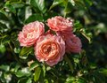 Rose variety marie curie, beautiful and unusual shape Royalty Free Stock Photo