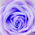 Rose violet Happy love fresh new day. Royalty Free Stock Photography