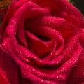 Rose water drip closeup roja Fotos de archivo