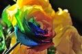 Rose waterdrop Royalty Free Stock Photo