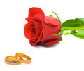 Rose and wedding rings isolated on white background Stock Photography