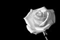 Rose white and copy space on black background Royalty Free Stock Photography