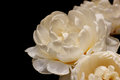 Rose white isolated over black background Royalty Free Stock Image