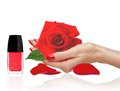 Rose in woman han, red nail polish and petals isolated on white Royalty Free Stock Photo