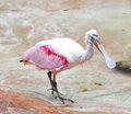 Roseate Spoonbill Royalty Free Stock Photography