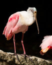Roseate spoonbill bird portrait of in playacar mexico Stock Photo