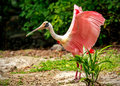 Roseate spoonbill bird portrait of in playacar mexico Royalty Free Stock Photos