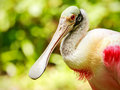 Roseate spoonbill bird portrait of in playacar mexico Stock Image