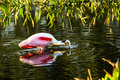 Roseate spoonbill feeding this image of a was captured at the wakodahatchee wetlands in delray beach florida the photograph was Royalty Free Stock Images