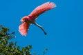 Roseate spoonbill in flight a Stock Photo