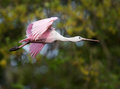 Roseate spoonbill in flight at the alligator farm st augustine fl Stock Images