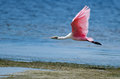 Roseate spoonbill in flight flying low to the shore florida Stock Image