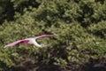 Roseate spoonbill in flight near mangroves on alafia banks Stock Photography