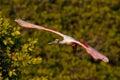 Roseate spoonbill in flight near the nest platalea ajaja Stock Images