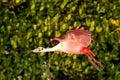 Roseate spoonbill in flight near the nest platalea ajaja Royalty Free Stock Photos