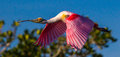 Roseate spoonbill in flight panoramic composition of adult with breeding plumage over mangrove Royalty Free Stock Photography