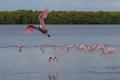 Roseate Spoonbill Flying, J.N. Ding Darling National Wildlif Royalty Free Stock Photo