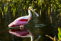Roseate spoonbill this image of a was captured at the wakodahatchee wetlands in delray beach florida the photograph was taken in Royalty Free Stock Photography