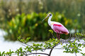 Roseate spoonbill this image of a was captured at the wakodahatchee wetlands in delray beach florida the photograph was taken Royalty Free Stock Images